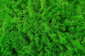Preserved Sphagnum light green