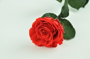 Preserved Rose on stem L (5-6.5 cm) red