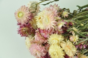 Dry helichrysum white-pink