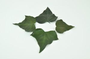 Feuilles de lierre stabilisées vertes