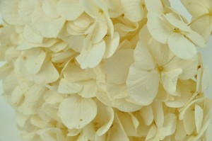 Preserved hydrangea pastel small petals ivory