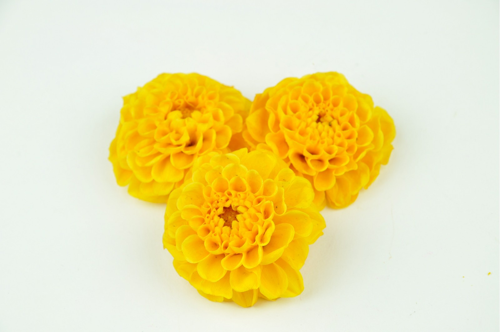 Preserved dahlia yellow (3-4 cm)