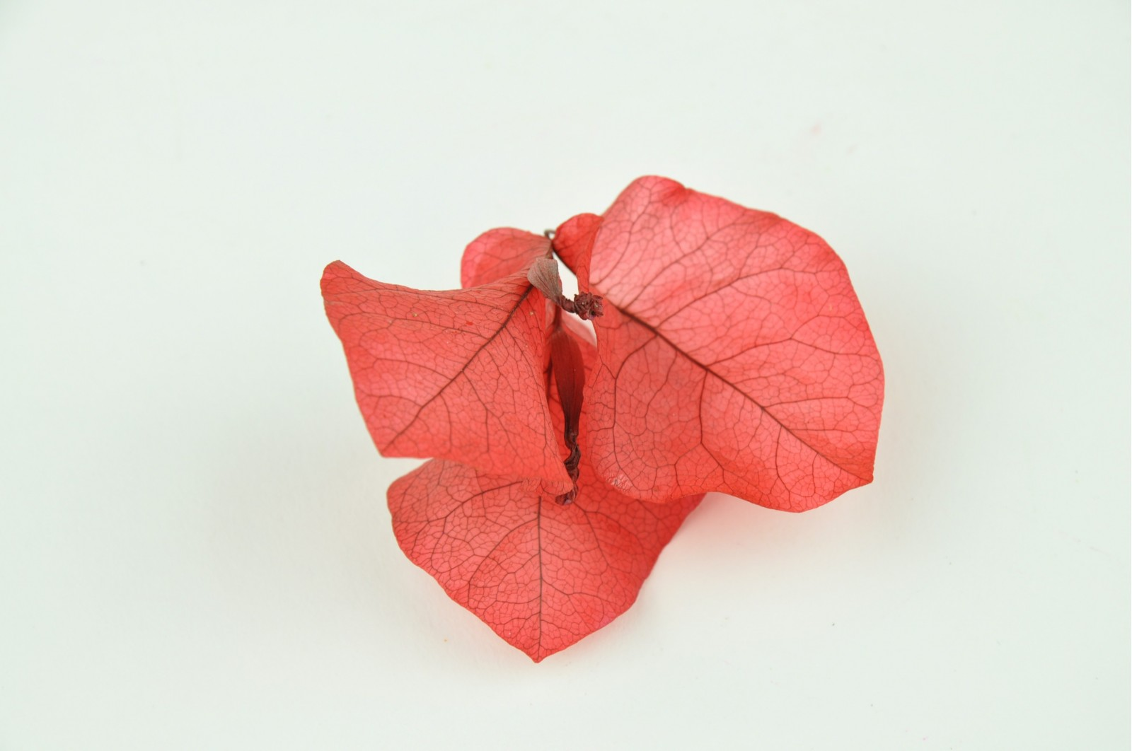 Preserved bougainvillea flowers red