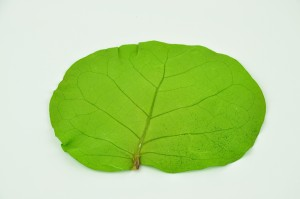 Preserved Coccoloba leaves light green