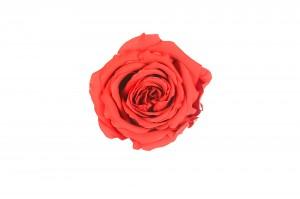 Preserved Rose head XL (7-8 cm) light red