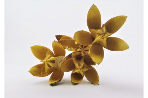 Dried Lilly flower - yellow