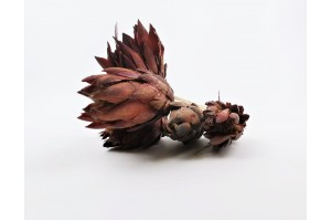Dried repens protea flower red