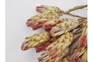 Protea compacte sèche rose (NL)