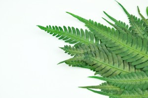 Preserved Argyrea fern green