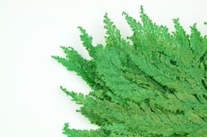 Preserved Colombian fern green