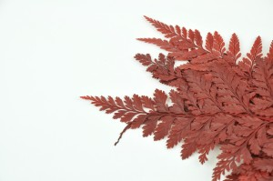 Preserved Davalia fern red