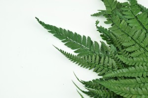 Preserved Rumora fern green