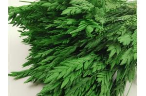 Dried spigadoro green (7)