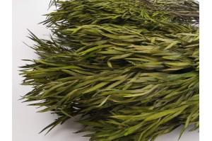 Preserved Salignum green (7)