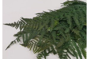 Preserved common fern green (7)