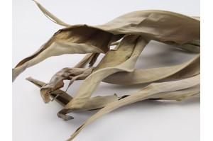 Dried Strelitzia natural (20)