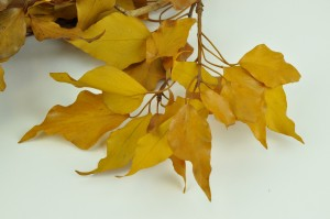 Preserved Ivy yellow