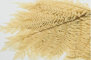 Preserved brake fern white (IT)