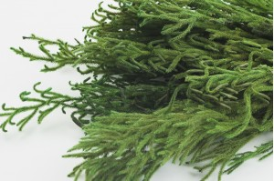 Preserved Lycopodium green