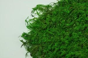 Mousse fougère stabilisée verte