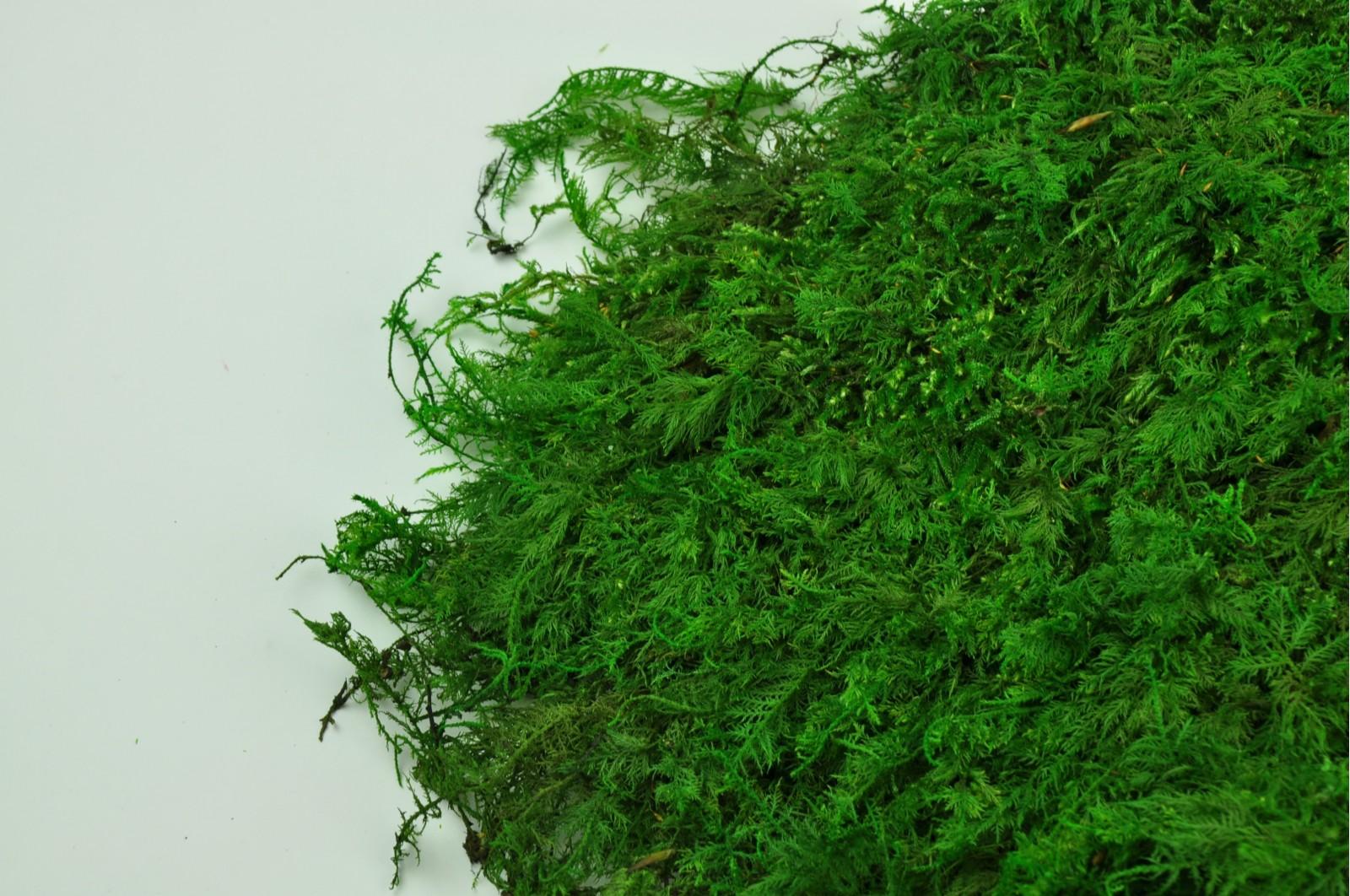 Preserved fern moss green