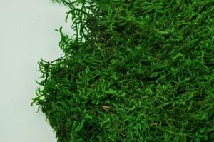 Preserved lycopodium moss green