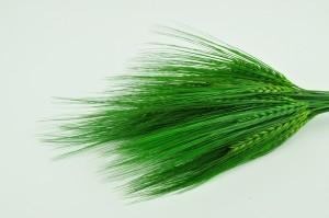 Preserved Barley green