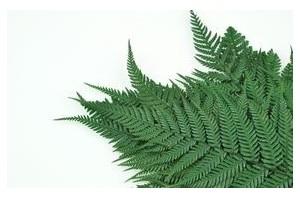 Stabilised ferns - Wholesaler - Wholesale / Online Purchase