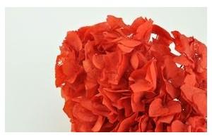 Hydrangeas - Wholesaler - Wholesale / Online Purchase