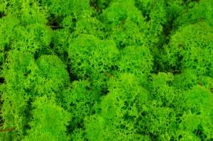 Lichens - Wholesaler - Wholesale / Online Purchase