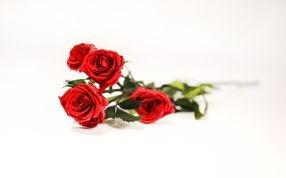 Roses stabilisées