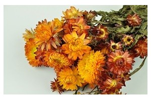 Dried flowers for professionals - Wholesaler - Wholesale / Online Purchase